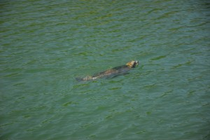 Seal Swims in Selby Cove